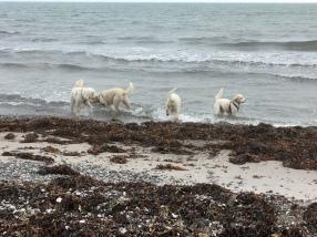 Goa vänner badar tassarna i havet utanför Höganäs