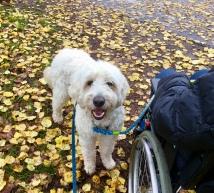 Vårdhunden Charlie på höstpromenad