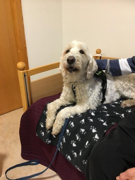 Nöjd hund och nöjd kund, vårdhunden Charlie har parkerat sig i sängen och får många klappar