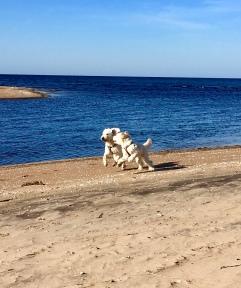 Charlie och Dacke busar på stranden
