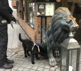 Modiga Bella, 10 månader, undersökte lejonet ingående....